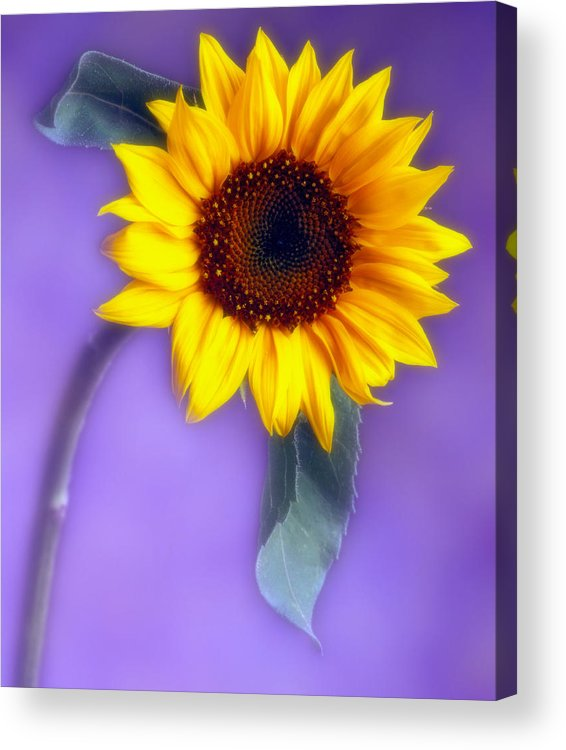 Flora Acrylic Print featuring the photograph Sunflower 1 by Joseph Gerges