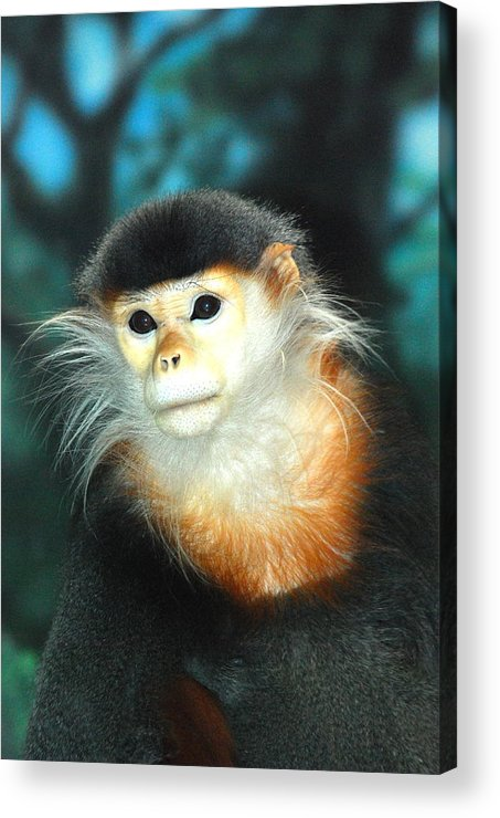 Monkey.handsome.primate.nature.eyes.hair.hairy.cute.sweet.fuzzy .fuzzy Face.face.pose.greeting Card.animal.canvas.framed Art.print Acrylic Print featuring the photograph Mr. Handsome by Kathy Gibbons