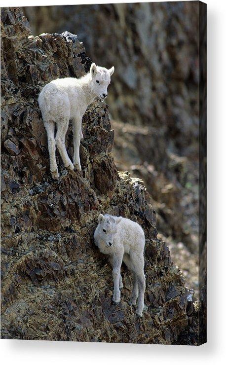 Alaska Acrylic Print featuring the photograph Usa, Alaska, Dall Sheep, Dall Lamb by Gerry Reynolds