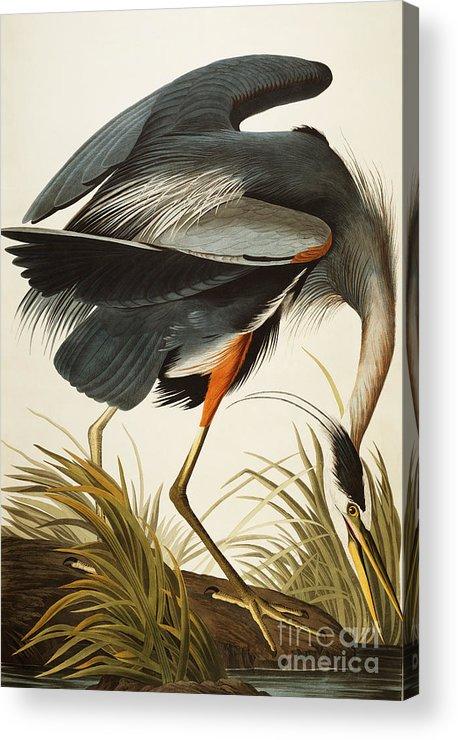 Great Blue Heron Acrylic Print featuring the painting Great Blue Heron by John James Audubon