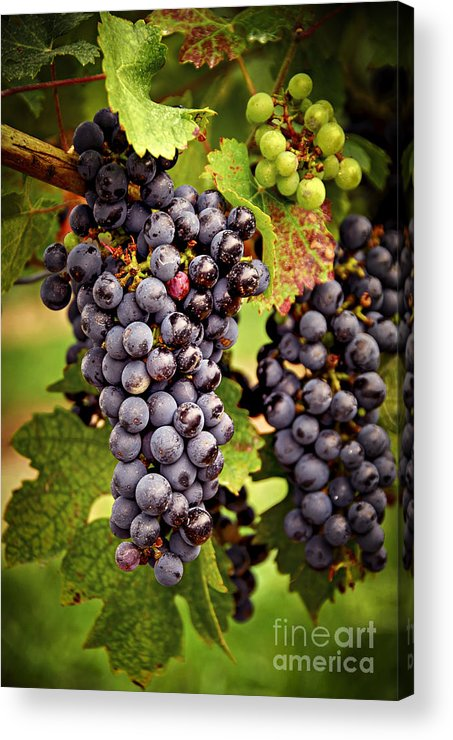 Grape Acrylic Print featuring the photograph Red Grapes by Elena Elisseeva