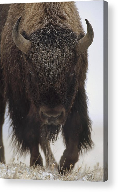 00172336 Acrylic Print featuring the photograph American Bison Portrait by Tim Fitzharris