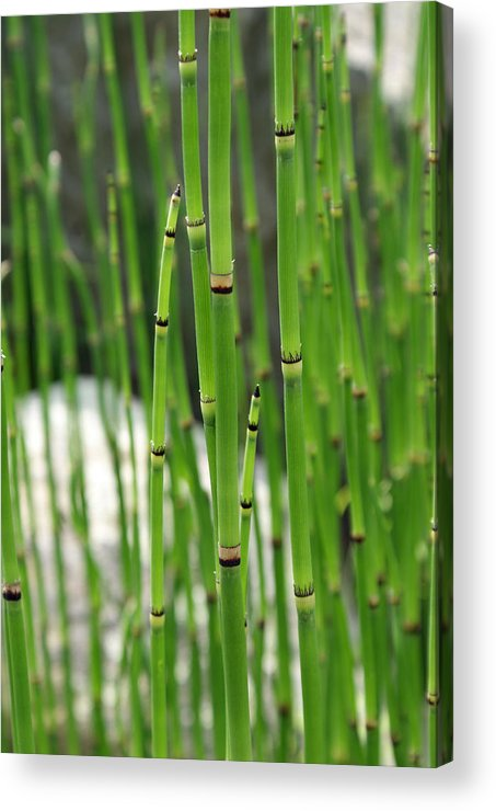 Bamboo Acrylic Print featuring the photograph Bamboo by Kristen Mohr