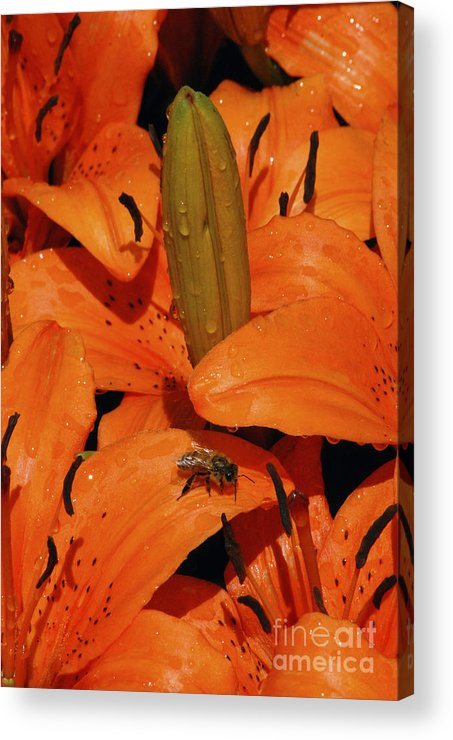 Day Lily Acrylic Print featuring the photograph Busy Bee - 774 by Paul W Faust - Impressions of Light