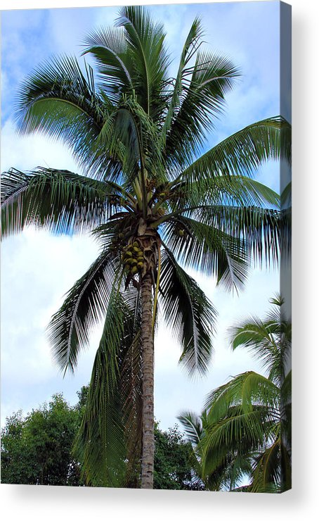 Coconut Acrylic Print featuring the photograph Coconut Palm Tree by Karon Melillo DeVega