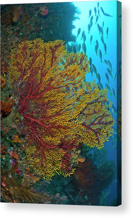 Animals In The Wild Acrylic Print featuring the photograph Colorful Sea Fan Or Gorgonian Coral by Jaynes Gallery