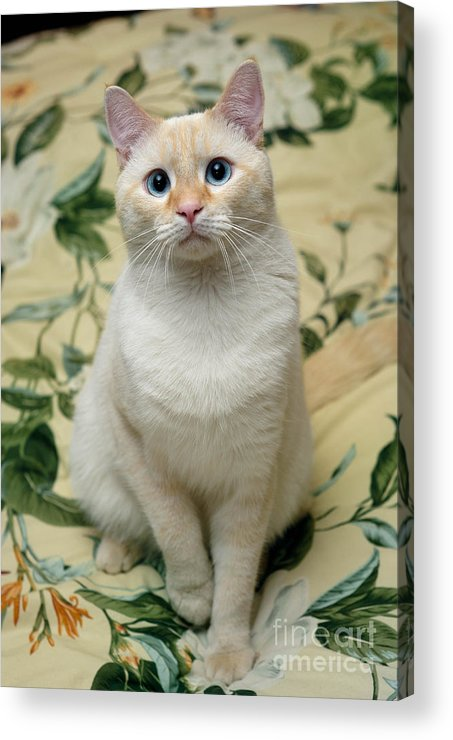 Blue Eyes Acrylic Print featuring the photograph Flame Point Siamese Cat by Amy Cicconi