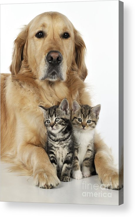 Cat Acrylic Print featuring the photograph Golden Retriever And Kittens by John Daniels