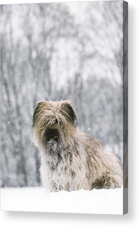 Pyrenean Shepherd Dog Acrylic Print featuring the photograph Pyrenean Shepherd Dog by Jean-Paul Ferrero