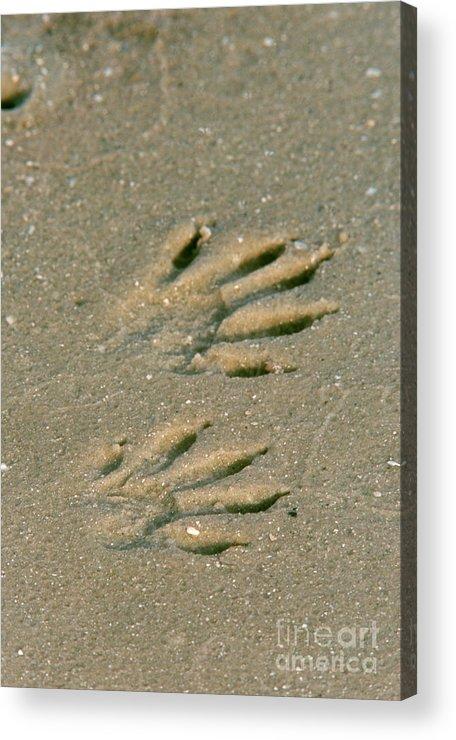 Animal Acrylic Print featuring the photograph Raccoon Tracks In Sand by Steve Maslowski