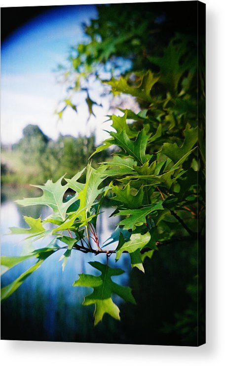 Recesky Acrylic Print featuring the photograph Recesky - Summer Oak Leaves by Richard Reeve