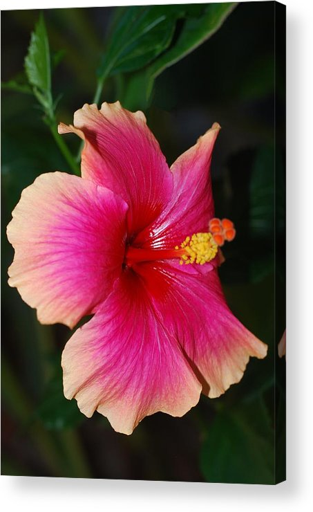Hibiscus Acrylic Print featuring the photograph Rise And Shine - Hibiscus Face by Connie Fox