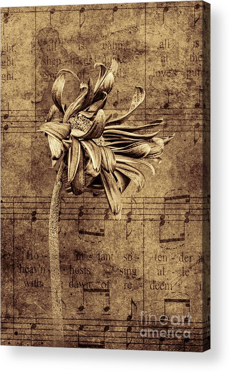 Gerber Acrylic Print featuring the photograph Sad Song In Sepia by Shirley Mangini