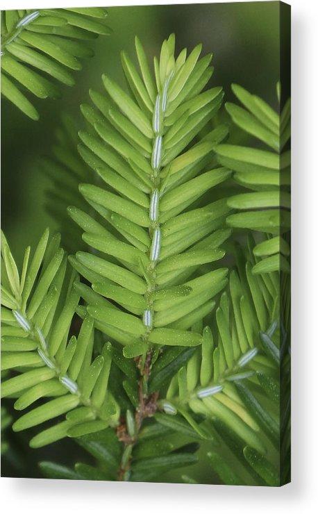 Fir Acrylic Print featuring the photograph Shades Of Green by Dawn Hagar