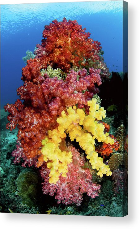 Animal Acrylic Print featuring the photograph Soft Corals On Reef, Raja Ampat by Jaynes Gallery