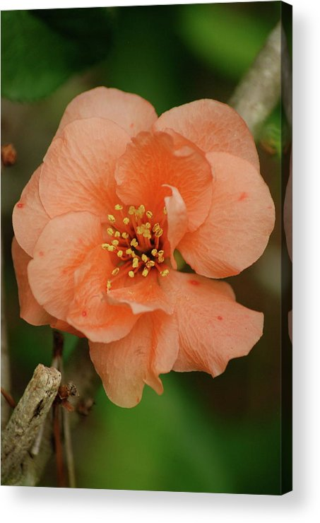 Orange Flower Acrylic Print featuring the photograph Spring Is Near by Kathy Gibbons