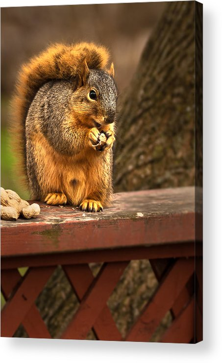 Eastern Fox Squirrel Acrylic Print featuring the photograph Squirrel Eating A Peanut by Onyonet Photo Studios