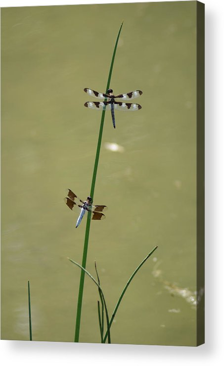 Dragonflies Acrylic Print featuring the photograph The Skimmer And The Whitetail by Ben Upham III