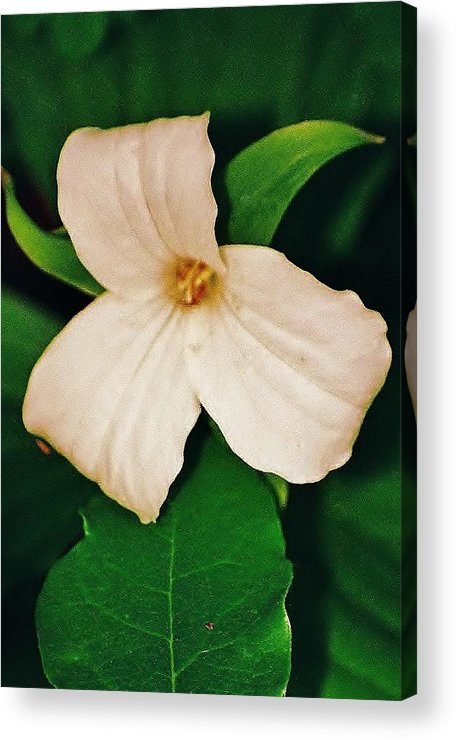 Trillium Acrylic Print featuring the photograph Trillium by Daniel Thompson