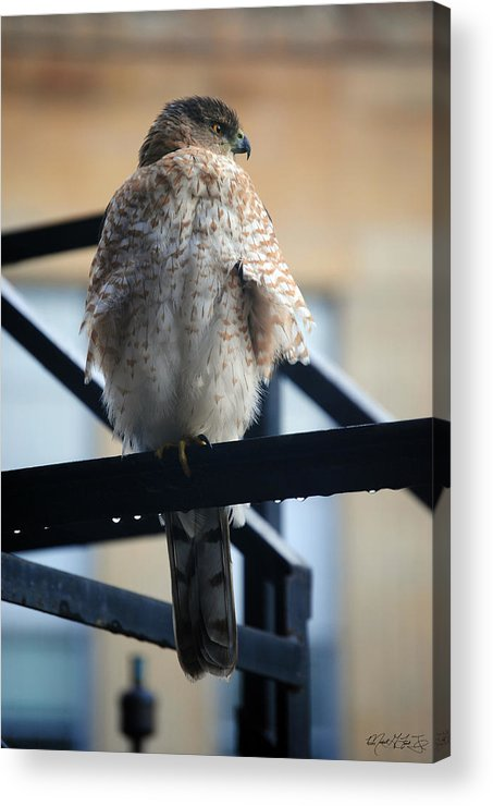 Acrylic Print featuring the photograph 02 Falcon by Michael Frank Jr