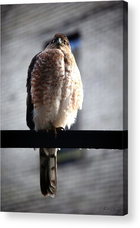 Acrylic Print featuring the photograph 05 Falcon by Michael Frank Jr