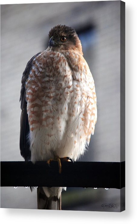 Acrylic Print featuring the photograph 06 Falcon by Michael Frank Jr