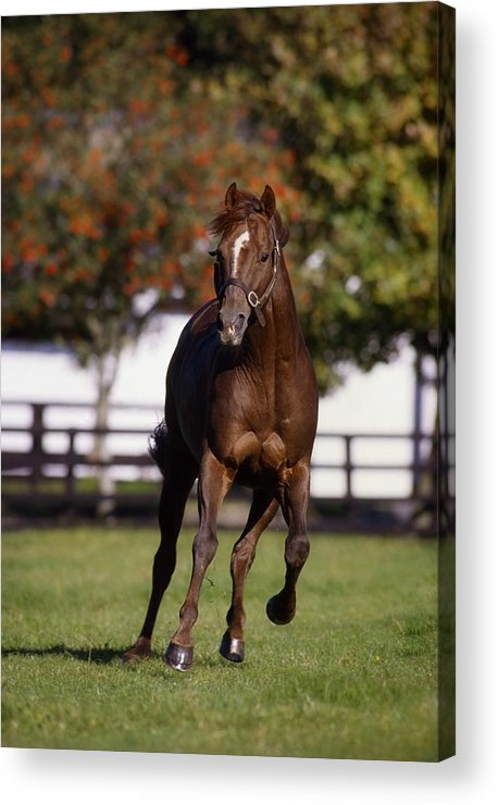 Bridle Acrylic Print featuring the photograph Thoroughbred Horse, Ireland by The Irish Image Collection