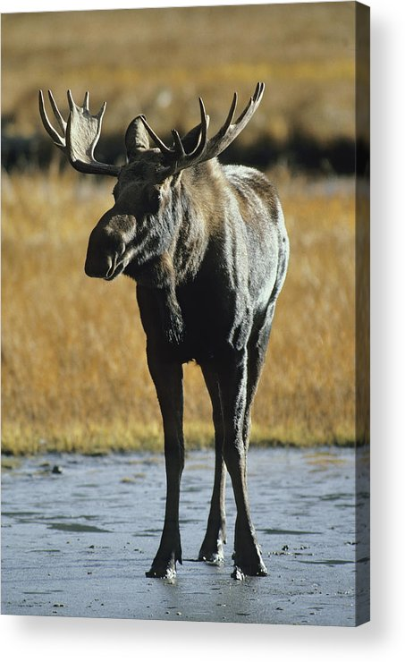 North America Acrylic Print featuring the photograph A Young Bull Moose by George F. Herben