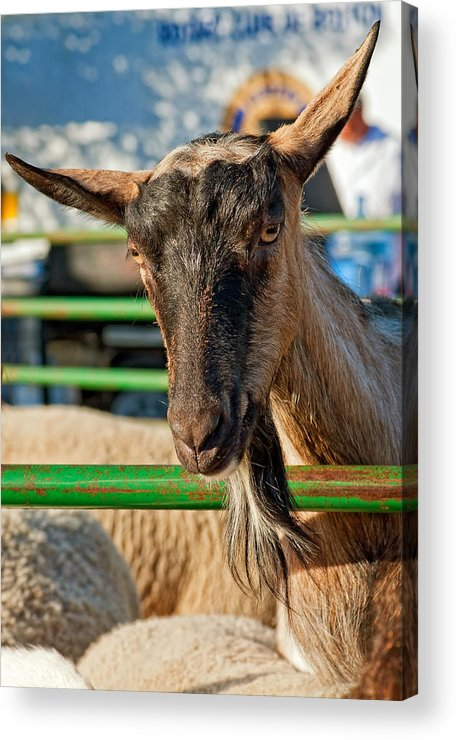 Petting Zoo Acrylic Print featuring the photograph Billy The Ham by Steve Harrington