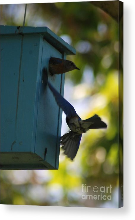 Animals Acrylic Print featuring the photograph Bluebirds by Barry Kadische