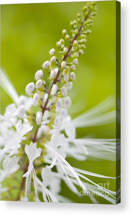 Cat's Whiskers Acrylic Print featuring the photograph Cat'swhiskers by Ivy Ho