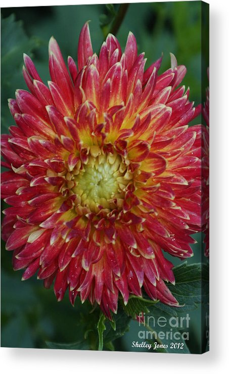 Floral Acrylic Print featuring the photograph Friends Call Me Heat Miser by Shelley Jones