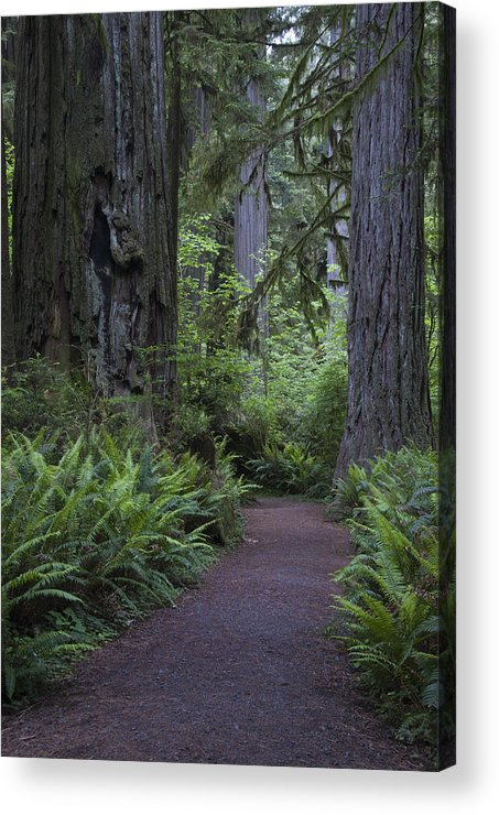 Redwood Acrylic Print featuring the photograph Redwood Path by Eva Jo Wu