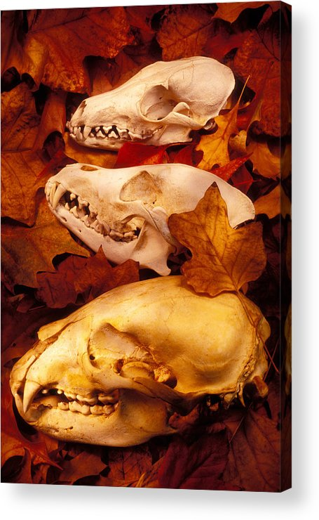 Three Animal Skulls Acrylic Print featuring the glass art Three Animal Skulls by Garry Gay