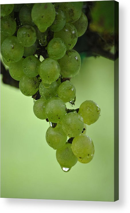 Grapevine Print Acrylic Print featuring the photograph Vineyard Grapes I by Deborah M Rinaldi