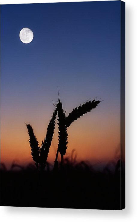 Close Up Acrylic Print featuring the photograph Wheat, Harvest Moon by The Irish Image Collection