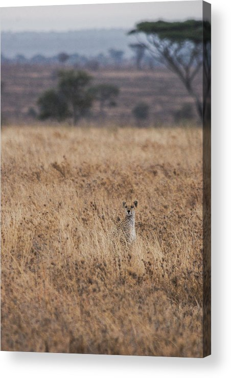 Cheetah Acrylic Print featuring the photograph Cheetah In The Tall Grass by Marc Levine