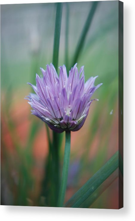 Flowers Acrylic Print featuring the photograph Chive Flower by Lisa Gabrius