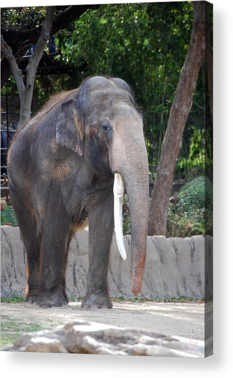 Elephant Acrylic Print featuring the photograph Elephant by Thea Wolff