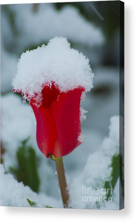 Tulip Acrylic Print featuring the photograph Snowy Red Riding Hood by Louise Magno