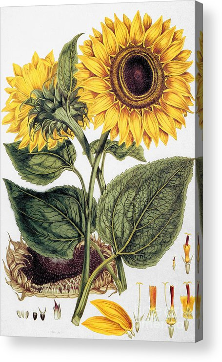 1777 Acrylic Print featuring the photograph Sunflower by Granger
