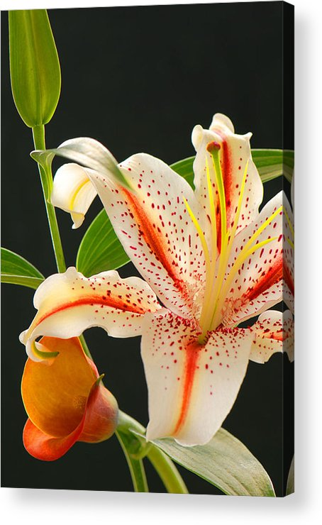 Lily Acrylic Print featuring the photograph Lily by Dennis Hammer