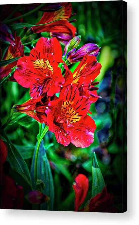 Californai Acrylic Print featuring the photograph 2647- Red Flowers by David Lange