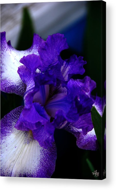 Iris Acrylic Print featuring the photograph Iris by Thea Wolff