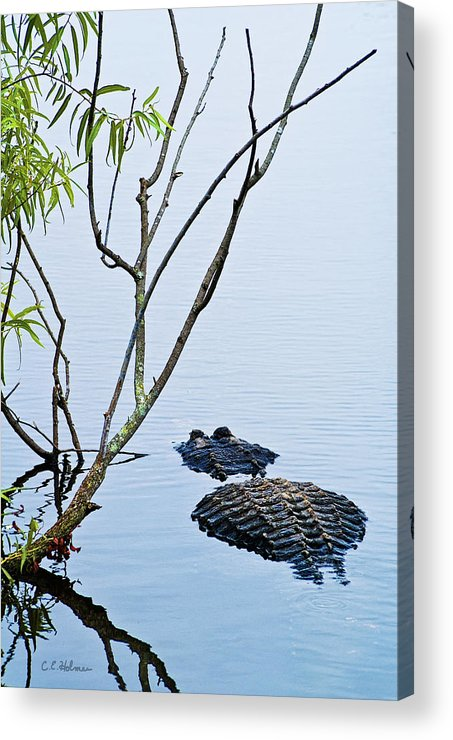 Alligator Acrylic Print featuring the photograph A Rough Patch by Christopher Holmes