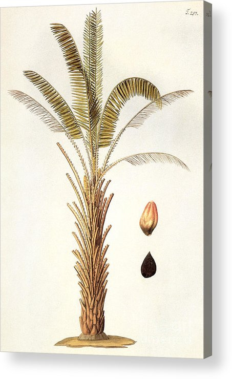 1780 Acrylic Print featuring the photograph African Oil Palm by Granger