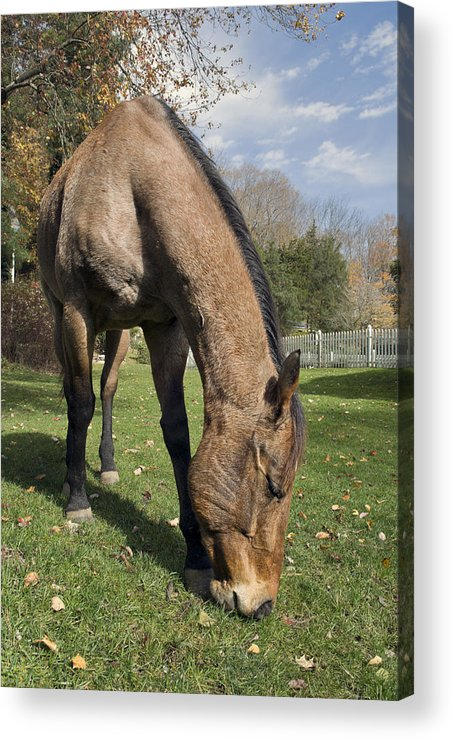 Horse Acrylic Print featuring the photograph All Neck by Jack Goldberg