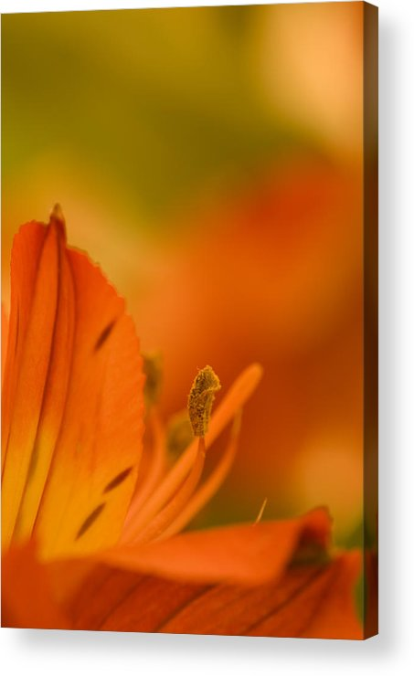 Flower Acrylic Print featuring the photograph Alstroemeria I by Andreas Freund