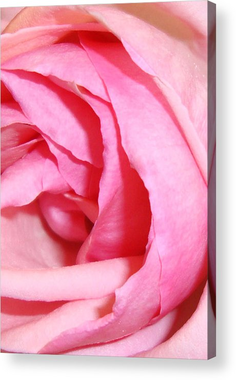 Pink Rose Acrylic Print featuring the painting Angelic by Amanda Schambon