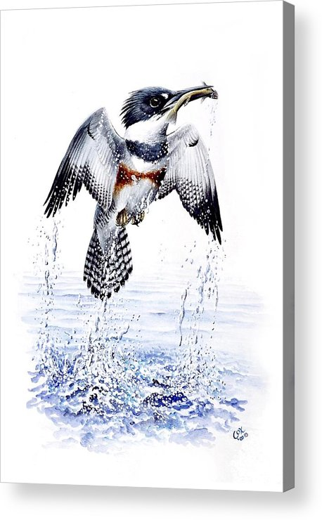 Chris Cox Acrylic Print featuring the painting Belted Kingfisher by Christopher Cox